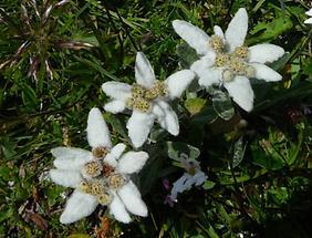 3 Alpen-Edelweiß Blüten