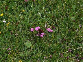 Alpen-Nelke im Gras