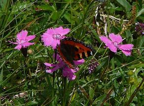 Alpen-Nelke mit Schmetterling