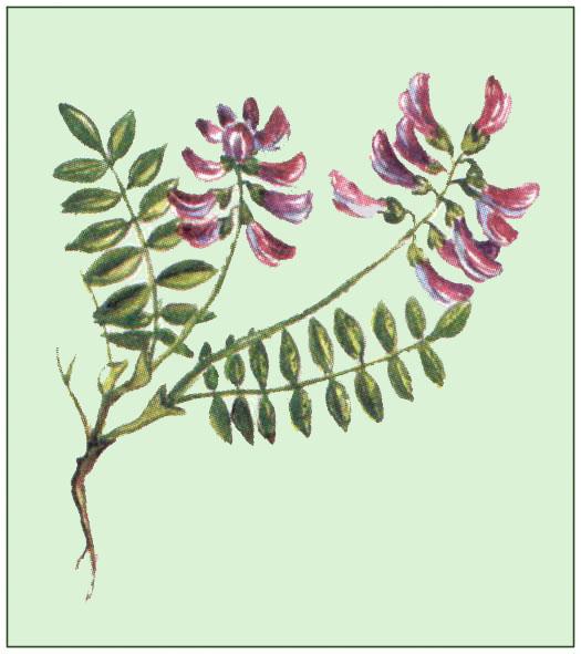 Bild nach schliefsteiner alpen tragant flora natur