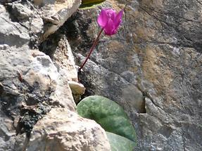 Alpenveilchen zwischen Felsen
