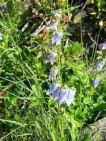 Bärtige Glockenblume (1)