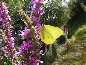 Blut-Weiderich mit Schmetterling