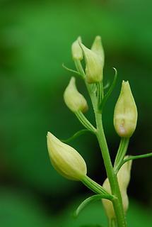 Blüten, geschlossen