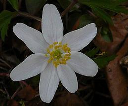 Blüte mit 7 Perigonblättern