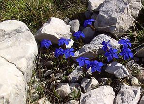 Frühlingsenzian zwischen Steinen