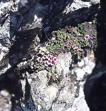 Steinbrech auf Felsen
