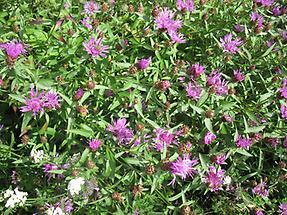 Gemeine Flockenblume1