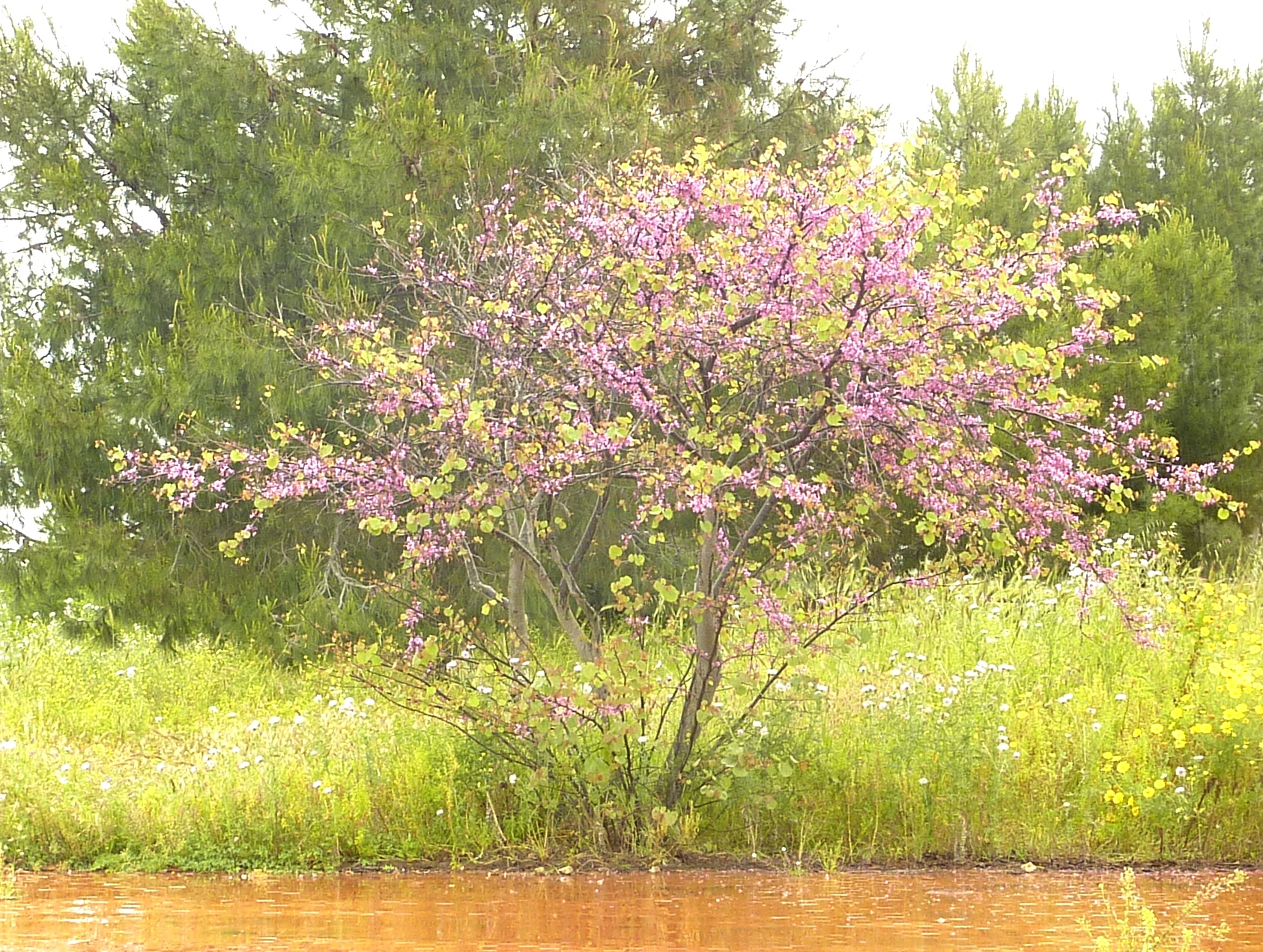 judasbaum in sizilien gemeiner judasbaum flora natur. Black Bedroom Furniture Sets. Home Design Ideas