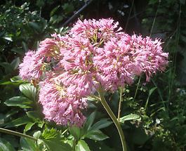 Alpendost Blüte