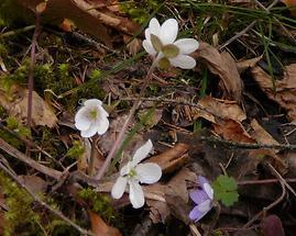 weißes und blaues Leberblümchen