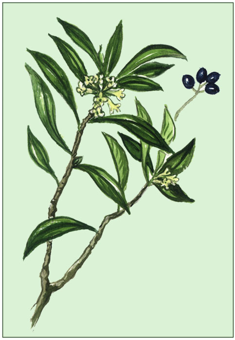 Bild nach schliefsteiner lorbeer seidelbast flora natur