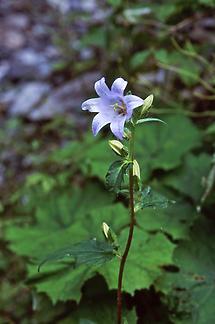 Nesselblättrige Glockenblume (1)