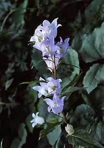 Nesselblättrige Glockenblume (2)