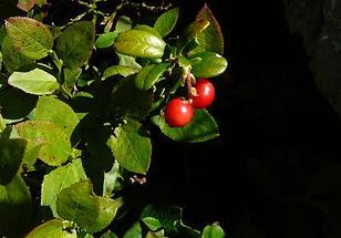 zwei Beeren
