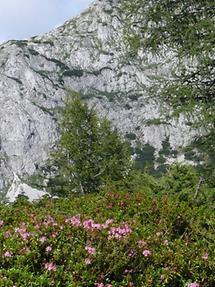 Almrausch im Kalkgebirge