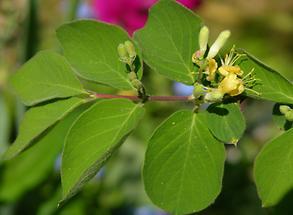 Blätter und Blüte