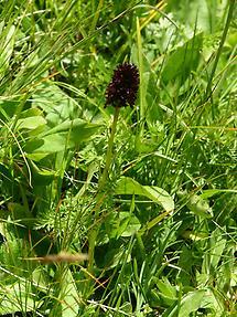 Schwarzes Kohlröschen (1)