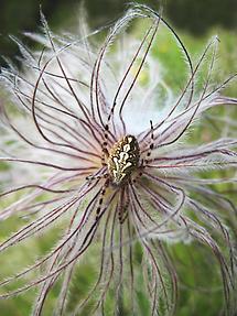 Spinne auf Silberwurz