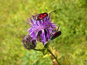Blüte mit Käfer (1)