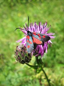 Blüte mit Käfer (2)