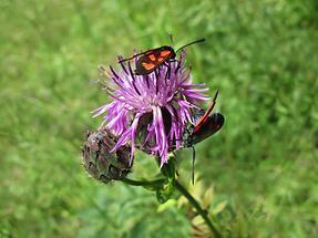 Blüte mit Käfer (3)
