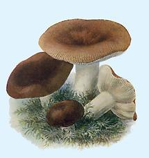 Bild aus Führer für Pilzfreunde