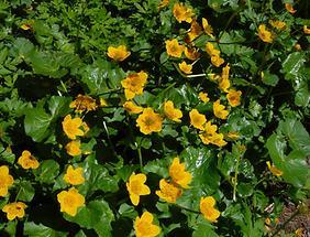 Sumpf-Dotterblumen (2)