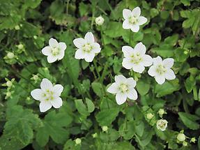 Sumpf-Herzblatt mehrere Blüten