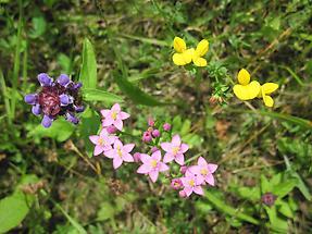 Tausendguldenkraut zwischen zwei anderen Blumen