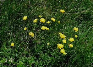 Trollblumen-Wiese