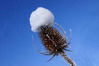 Weberkarde im Schnee