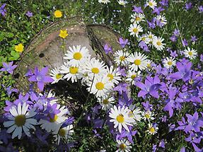 Wiesen-Wucherblume mit Wiesen-Glockenblumen