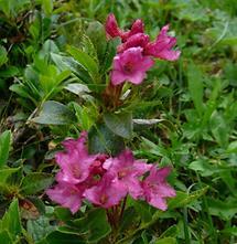 behaarte Blüten und Blätter