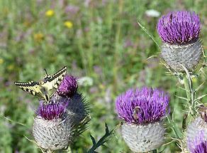 Wollköpfige Kratzdistel mit Schmetterling