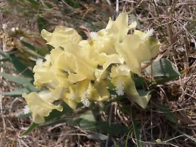 Zwerg-Schwertlilie gelb