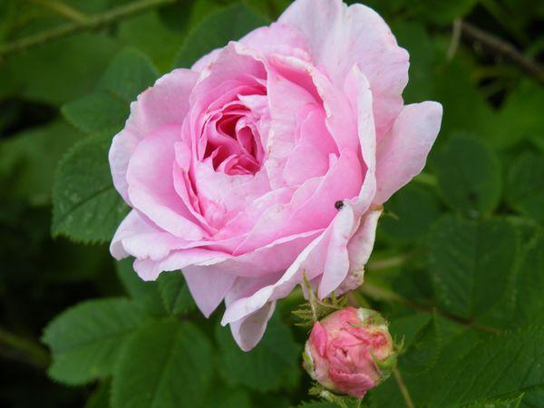 alba rosen haus und gartenpflanzen natur im austria forum. Black Bedroom Furniture Sets. Home Design Ideas