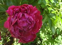 Paeonia_officinalis_Plena Rubra.jpg