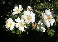 Rosa_pimpinellifolia_single.jpg