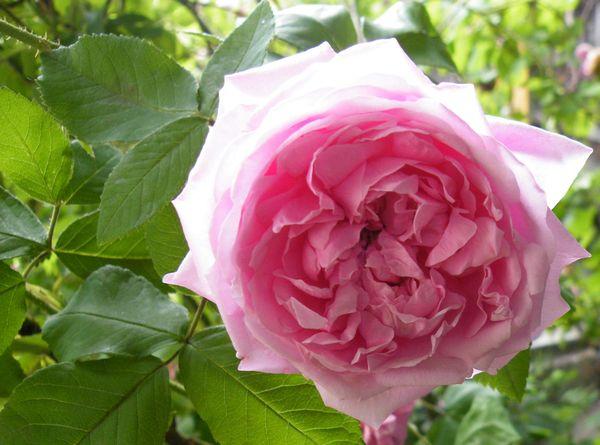 damaszener rosen haus und gartenpflanzen natur im austria forum. Black Bedroom Furniture Sets. Home Design Ideas
