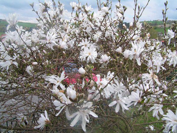magnolie haus und gartenpflanzen natur im austria forum. Black Bedroom Furniture Sets. Home Design Ideas