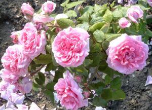 rosen haus und gartenpflanzen natur im austria forum. Black Bedroom Furniture Sets. Home Design Ideas