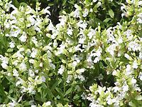 Salvia_officinalis_alba