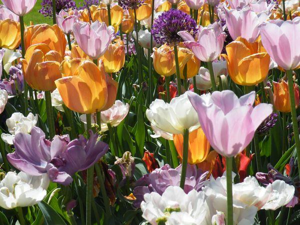 tulpen haus und gartenpflanzen natur im austria forum. Black Bedroom Furniture Sets. Home Design Ideas