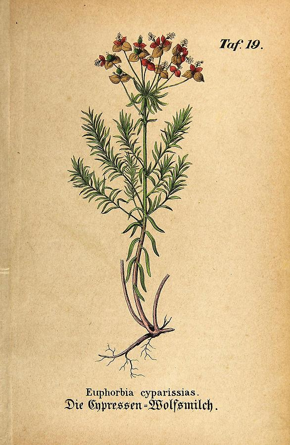 Illustration Cypressen-Wolfsmilch / Euphorbia cyparissias
