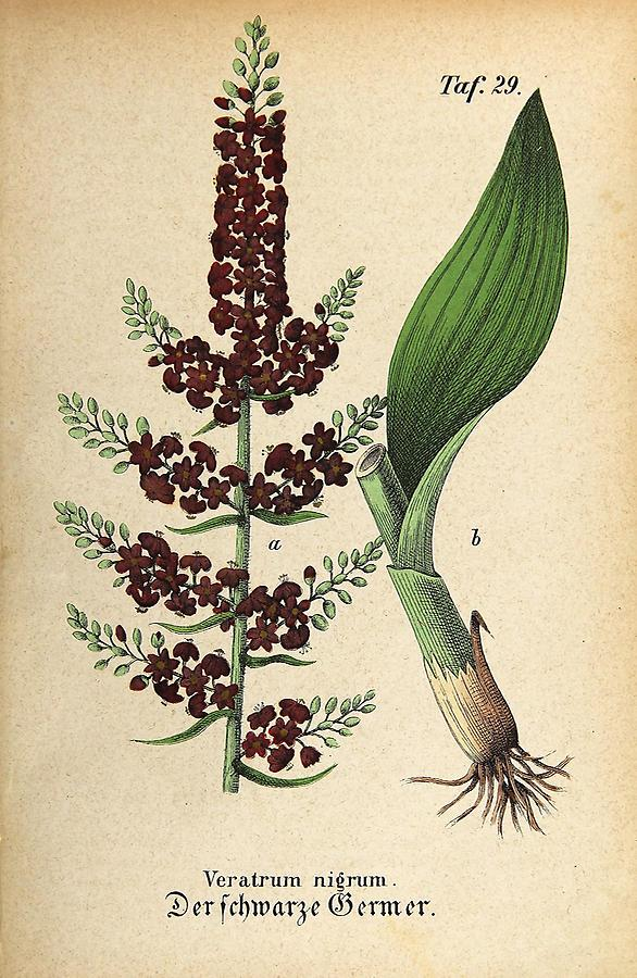 Illustration schwarzer Germer / Veratrum nigrum