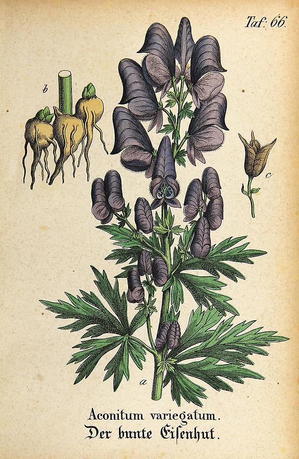 Illustration bunter Eisenhut / Aconitum variegatum