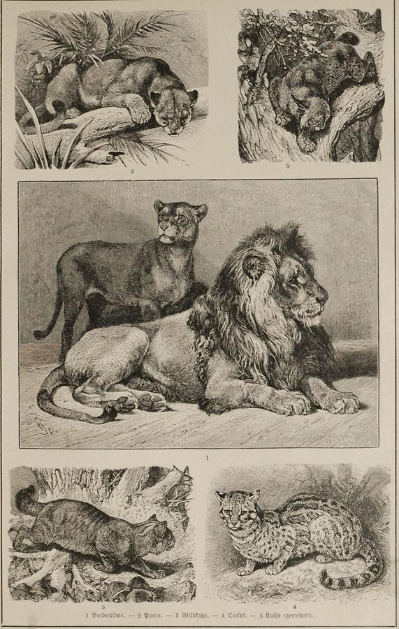 Illustration Katzen (Tafel I)
