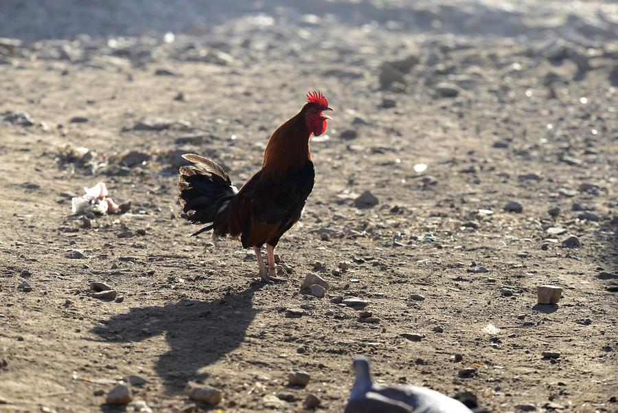 Axum - Old Town; Rooster