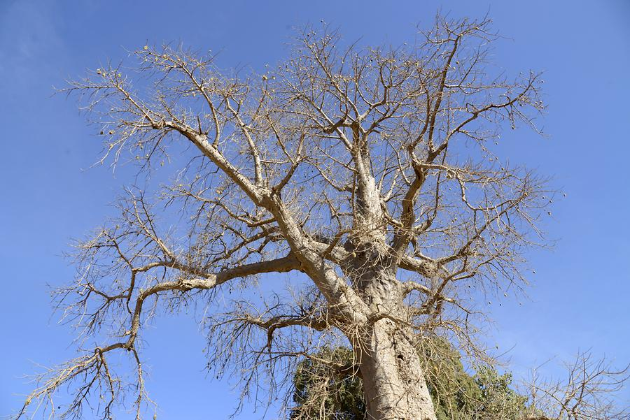 Simien Mountains - Baobab